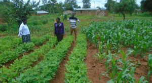 Picture of Government and Karonga Diocese staff admiring a demo plot of beans and maize in Chisenga