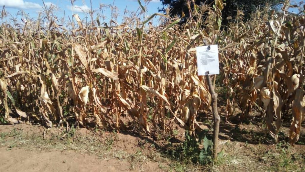Better crop and higher maize yield realised from demo plots
