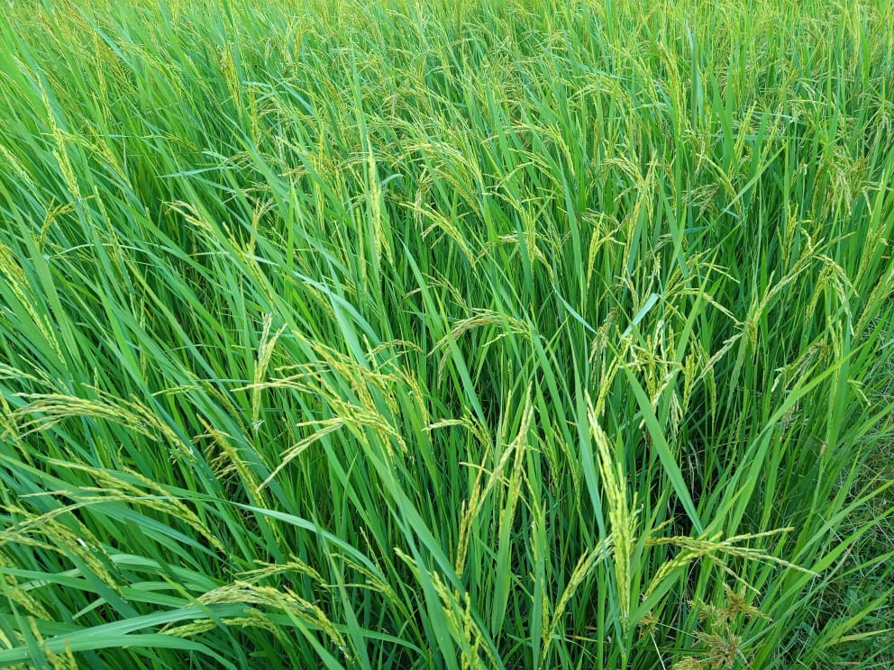 Rice field: Farmers set to benefit a lot from their farming