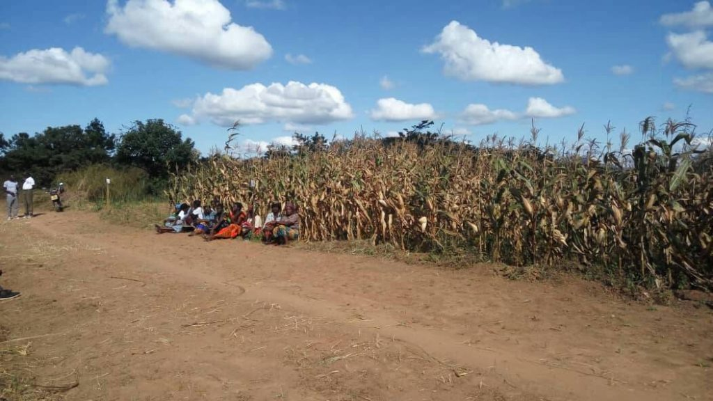 Figure 1 Maize stand grown using compost manure only at Takondwa club in Chisenga, Chitipa District
