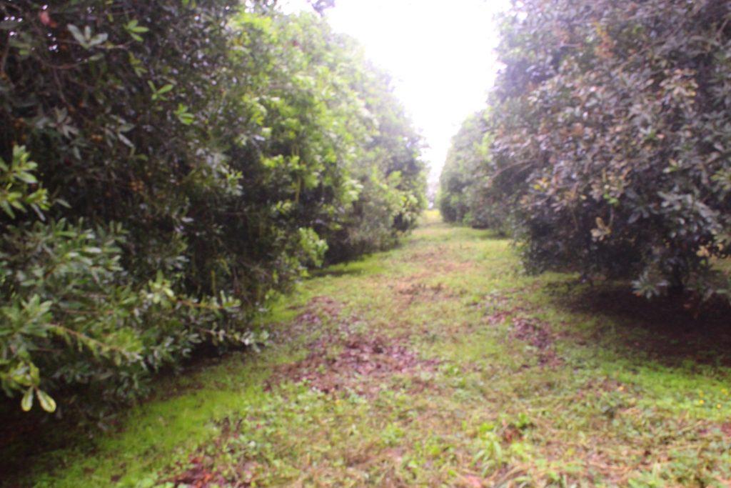 Macadamia Trees
