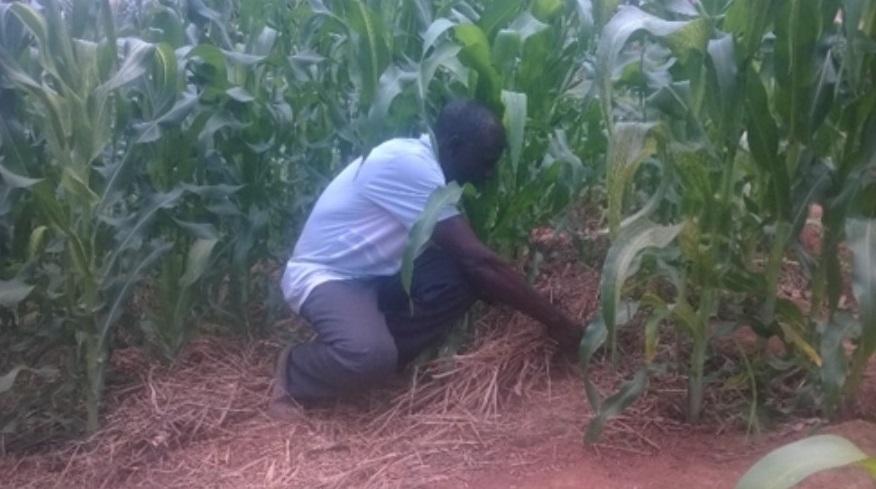Mulched pit planting demonstration plot