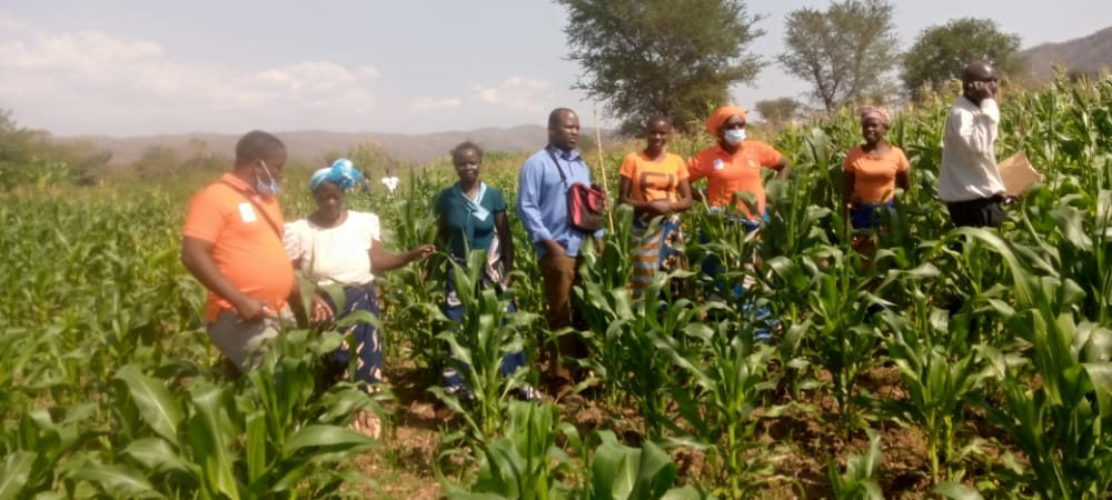 Maize garden